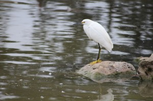 A cold Snowy Egret.