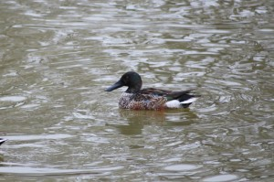 Smooth Sailing Shoveler